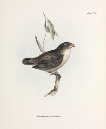 Finch, c 1832-1836.