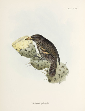 Finch, Galapagos Islands, c 1832-1836.