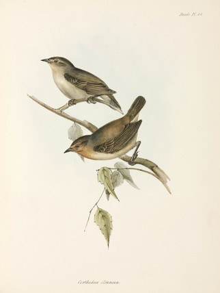 Pair of Warbler Finches, Galapagos Islands, c 1832-1836.