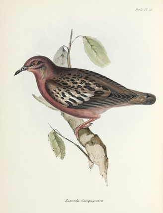 Galapagos Dove, Galapagos Islands, c 1832-1836.