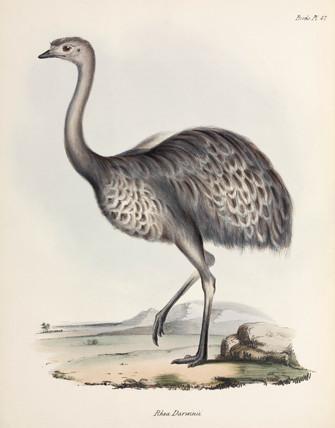 Rhea, South America, c 1832-1836.