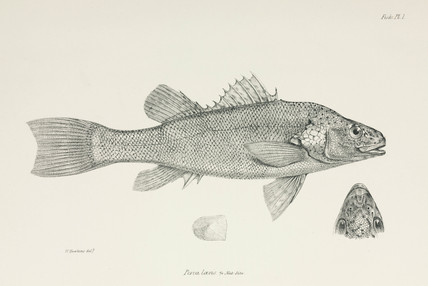 Perch, c 1832-1836.