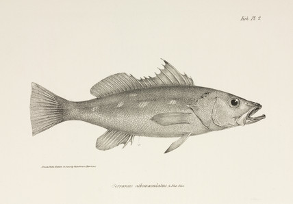 Camotillo, Pacific Ocean, c 1832-1836.