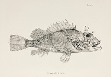 Player scorpionfish, c 1832-1836.