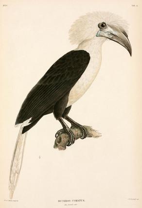Buceros comatus, Indonesia, 1839-1844.