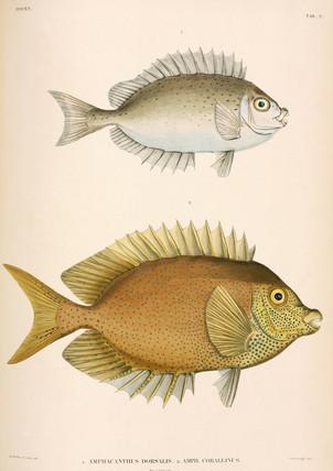 Amphacanthus dorsalis, Amphacanthus corallinus, Indonesia, 1839-1844.