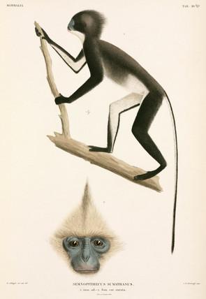 Monkeys, Sumatra, Indonesia, 1839-1844.