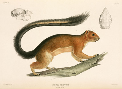 Squirrel, Indonesia, 1839-1844.