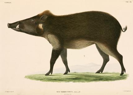 Wild pig, Indonesia, 1839-1844.