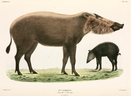 Adult and young bearded pig, Indonesia, 1839-1844.