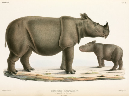Adult and young Sumatran rhinoceros, Indonesia, 1839-1844.
