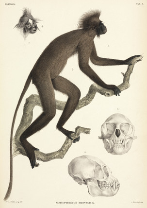 Monkey and skull details, Sumatra, Indonesia, 1839-1844.