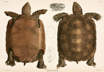 Tortoises, Indonesia, 1839-1844.