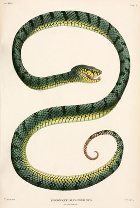 Sumatran Pit-Viper, Indonesia, 1839-1844.