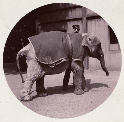 Baby elephant at the zoo, c 1890.