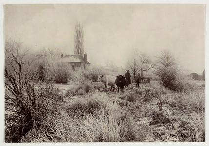 Cows in a frosty field, c 1890.