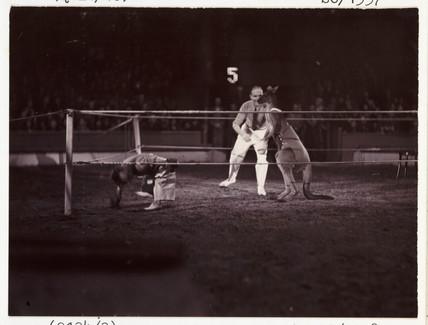Boxing kangaroo, c 1936.