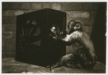 Monkey playing with a radio, c 1935.