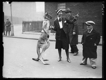Kangaroo on a London street, 11 December 1933.