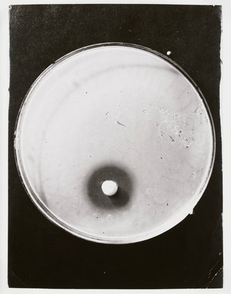 Penicillin growing in a petrie dish, 1943.