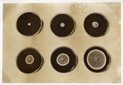 Penicillin cultures, 1943.