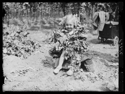 Young hop picker, 31 August 1937.