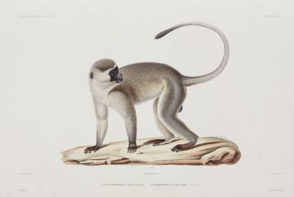 Monkey, 1836-1839.