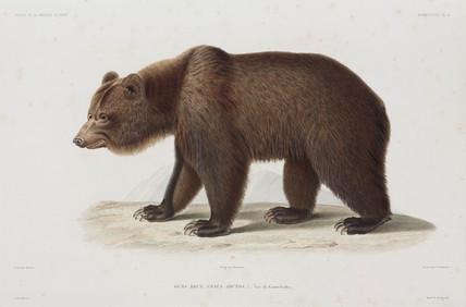 Brown bear, Kamchatka, Russia, 1836-1839.