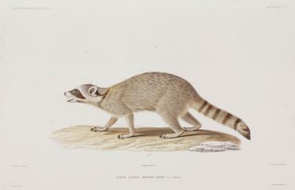 Raccoon, USA, 1836-1839.