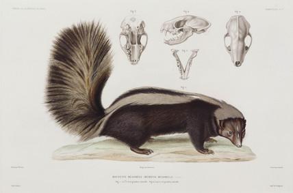 Skunk, USA, 1836-1839.