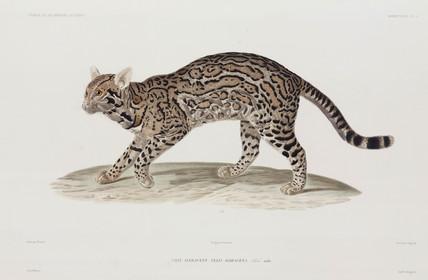 Ocelot, USA, 1836-1839.