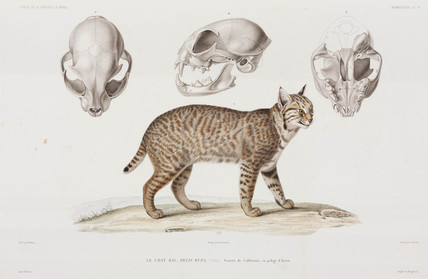 Californian bobcat, USA, 1836-1839.