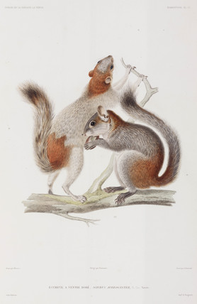 Red-bellied or Mexican grey squirrels, 1836-1839.