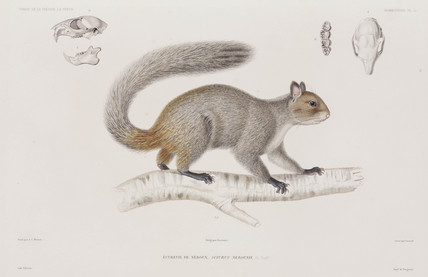 Squirrel, 1836-1839.