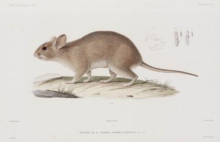 Woodrat, USA, 1836-1839.