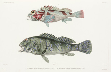 Giant hawkfish and scorpionfish, 1836-1839.