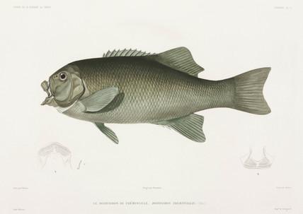 Fish (Doidyxodon freminvillii), 1836-1839.