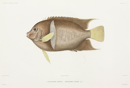 King angelfish, 1836-1839.