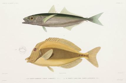 Amberstripe scad and Razor surgeonfish, 1836-1839.