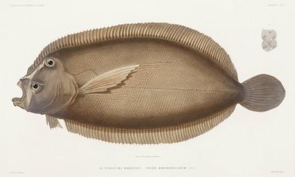 Flounder, 1836-1839.