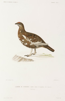 Male ptarmigan in summer plumage, Spitsbergen, Norway, 1838-1840.