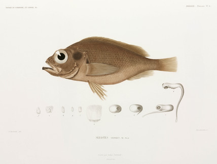 Norway redfish, 1838-1840.