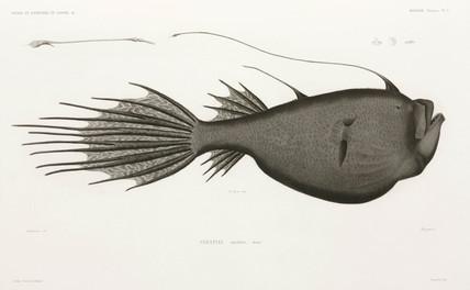 Deep Sea Angler, 1838-1840.