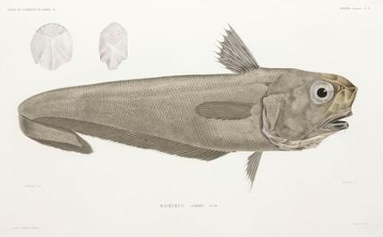 Knife fish, 1838-1840.