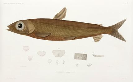 Fish, (Acantholepis), 1838-1840.