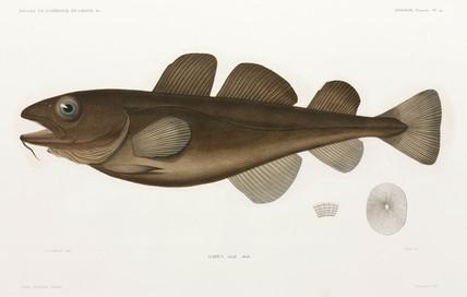 Codfish, 1838-1840.
