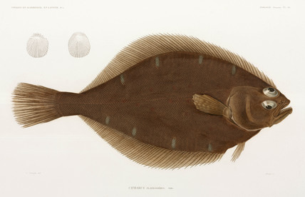 American Plaice or Long Rough Dab , 1838-1840.
