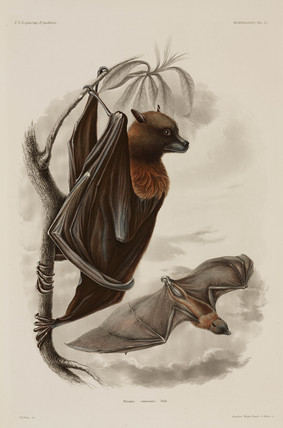Samoan flying fox, 1838-1842.