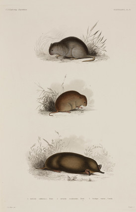 Voles and mole, North America, 1838-1842.