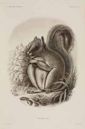Grey squirrel, North America, 1838-1842.